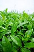 japanese-tea-727459__180